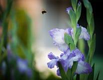 Den blåa gladiolusen blommar med ett honungbiflyg inom ett grönt fält Royaltyfri Fotografi