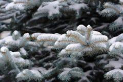 Den blåa granen förgrena sig med insnöad vinter arkivbild