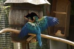 den blåa guldmacawen ut wings Arkivbilder