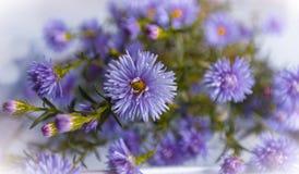 Den blåa hösten blommar asterbuketten Arkivbilder