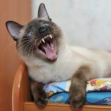 den blåa katten eyes siamese Fotografering för Bildbyråer