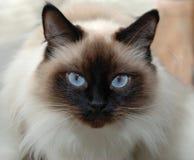 den blåa katten eyes siamese Arkivfoto