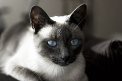 den blåa katten eyes siamese Arkivbilder