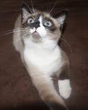 den blåa katten synade Arkivbilder