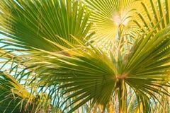 den blåa kokosnöten gömma i handflatan skytreen Arkivfoton