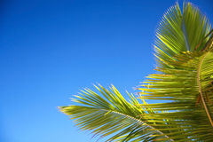 den blåa kokosnötleafen gömma i handflatan s-skyen Arkivfoto