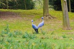Den blåa kranen och deersna Royaltyfri Bild