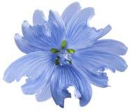 Den blåa lösa malvablomman på en vit isolerade bakgrund med den snabba banan closeup element för klockajuldesign arkivfoton