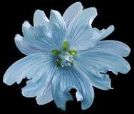 Den blåa lösa malvablomman på svarten isolerade bakgrund med den snabba banan closeup element för klockajuldesign royaltyfri foto