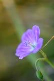 Den blåa lilan blommar closeupen Arkivbild
