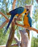 den blåa macawen mekaniskt säga efter yellow två Royaltyfri Fotografi