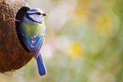 Den blåa mesen Fotografering för Bildbyråer