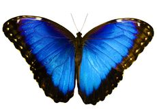 Den blåa morphofjärilen som isoleras på vit bakgrund med spridning, påskyndar Fotografering för Bildbyråer