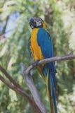 Den blåa och gula arapapegojan i den Bali fågeln parkerar, Indonesien Fotografering för Bildbyråer