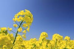 Den blåa skyen och våldtar fältet, canolakantjusteringar Royaltyfri Bild
