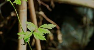 Den blåa sländaflugan ut och hudflänger in till ett blad lager videofilmer