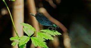 Den blåa sländan - flyga ut från ett blad lager videofilmer
