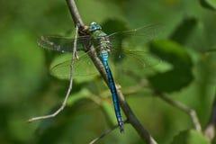 Den blåa sländan på en fatta och äter den fångade cikadan royaltyfri fotografi