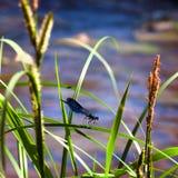 Den blåa sländan sitter på ett gräs Royaltyfri Fotografi