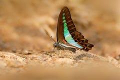 Den blåa triangelfjärilen, Graphium sarpedon, är fjärilen som finnas i Sri Lanka som tillhör swallowtailfamiljen Endemisk till Sr Arkivbilder