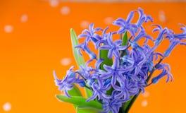 Den blåa våren blommar med gröna sidor på en orange bakgrund Arkivbild