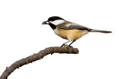 den black capped chickadeen äter kärnar ur solrosen arkivfoto