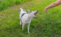 Den blandade avelhunden försöker att bita den mänskliga handen Royaltyfri Foto