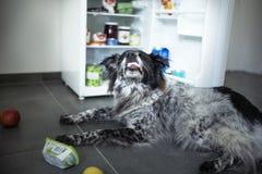 Den blandade avelhunden stjäler mat från kylen royaltyfri fotografi