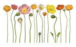 den blom- blomman blommar vallmon Arkivfoto