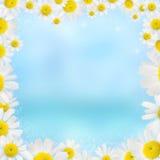 Den blom- härliga camomilen inramar på en blåttbakgrund fotografering för bildbyråer
