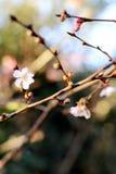 Den blom- knoppen som först öppnar våren, blommar i trädbakgrunden royaltyfri fotografi