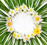 Den blom- modellen, den runda ramen av påskliljan blommar på en bakgrund av gröna sidor med vitt utrymme för text Arkivbild