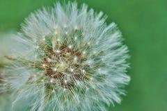 Den blommade maskrosen i natur växer från grönt gräs royaltyfri bild