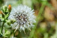 Den blommade maskrosen i natur v?xer fr?n gr?nt gr?s royaltyfri bild