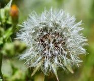 Den blommade maskrosen i natur v?xer fr?n gr?nt gr?s fotografering för bildbyråer