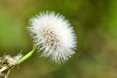 Den blommade maskrosen i natur v?xer fr?n gr?nt gr?s royaltyfri foto