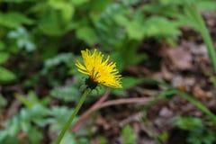 Den blommade maskrosen i natur v?xer fr?n gr?nt gr?s royaltyfri fotografi