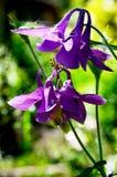 Den blommande aquilegiaen vulgaris Aquilegia, den europeiska aklejan med lilan blommar i trädgården rengöringsduk för universal f Royaltyfria Foton