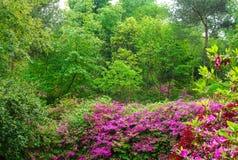 Den blommande azalean i trädgård Fotografering för Bildbyråer