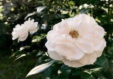 Den blommande blomman steg med gröna sidor royaltyfria foton