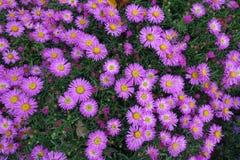 Den blommande blomningen blommar bakgrund Violet And Green royaltyfri bild