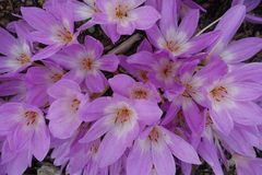 Den blommande blomningen blommar bakgrund Violet Purple Crocus And Green Arkivfoto