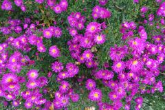 Den blommande blomningen blommar bakgrund Violet Purple And Green Royaltyfri Fotografi