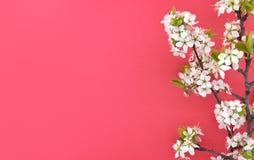 Den blommande filialen av körsbäret, vår blommar på röd bakgrund Arkivfoton