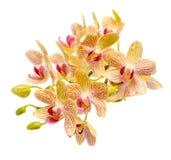 Den blommande filialen gjorde randig den gula och röda orkidén med droppar, Royaltyfri Bild
