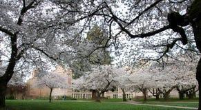 Den blommande körsbärsröda filialramen parkerar slingan i universitetsområde Arkivbild