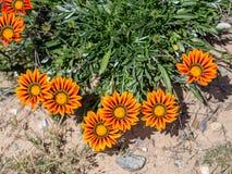 Den blommande lösa Gazaniablomman på den Laguna kustvildmarken parkerar, Laguna kullar, Kalifornien royaltyfri fotografi