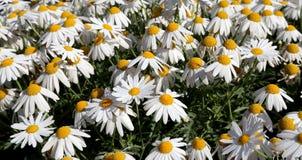 Den blommande lösa kamomillen blommar i fältet Fotografering för Bildbyråer