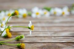 Den blommande lösa tusenskönan blommar på trätabellen Arkivfoton