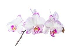 Den blommande lilan gjorde randig den isolerade orkidén Arkivfoto